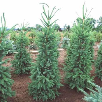 Architectural, Picea abies 'Cupressina' (Norway Spruce) is an elegant, columnar,...#abies