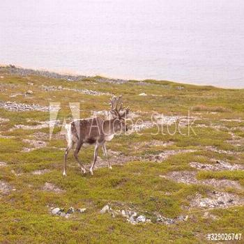 Deer with beautiful horns stands on the banks of the river, Norway ,