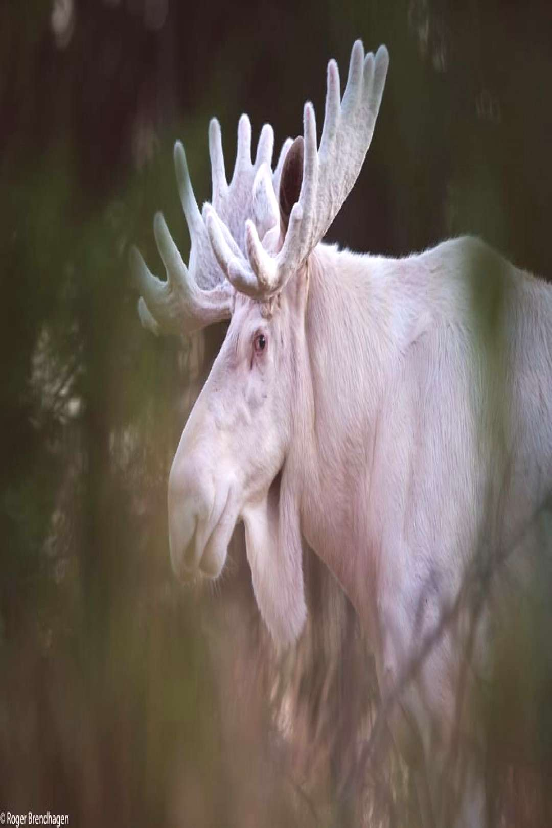 Elusive Moose on Twitter quot#MondayMoose... is an albino bull, a rare sighting ? Photo Roger Bre